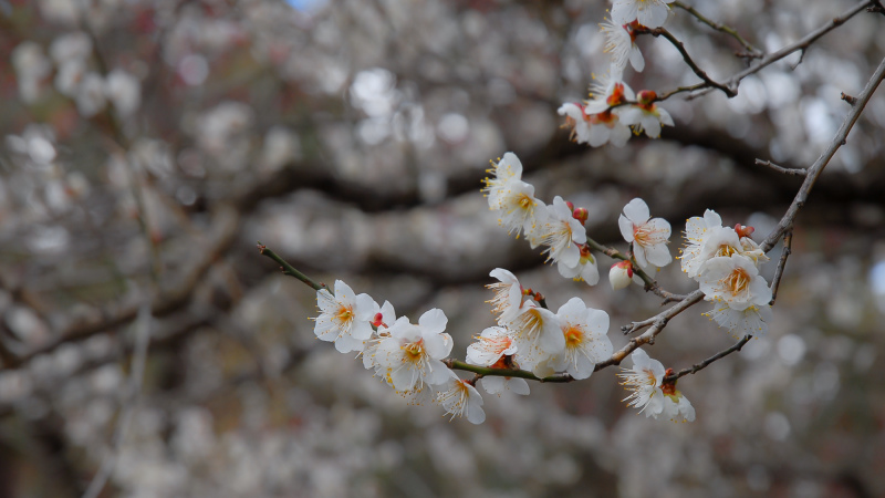 Japanese Apricot Blossom