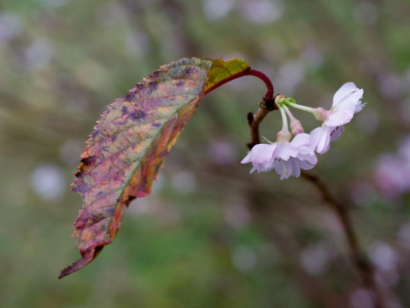 Autumn Leaves  - 4 - 2019