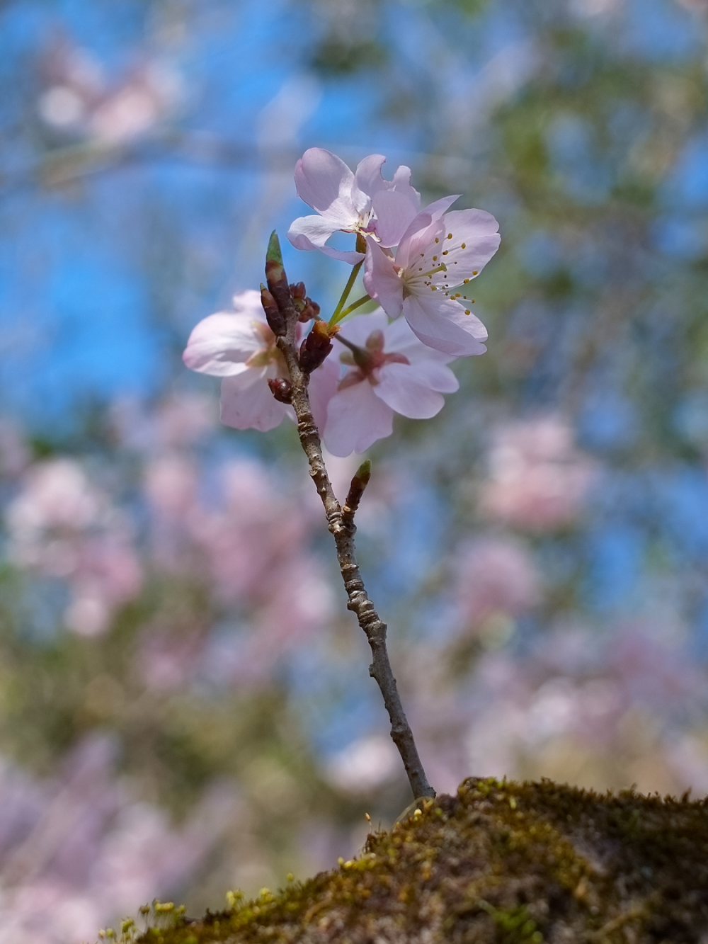 Spring Flowers - 3 - (2020 Mar.)