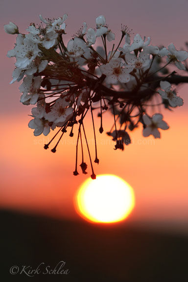 Sunset behind Bradford Pear Blossoms