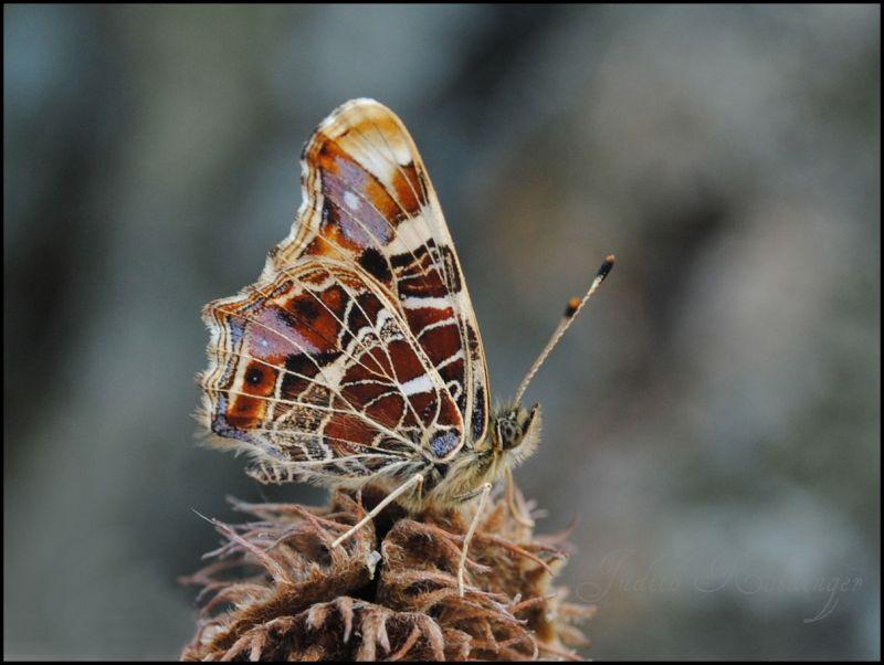 An Austrian butterfly