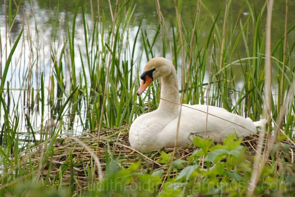 Beautiful nesting swan