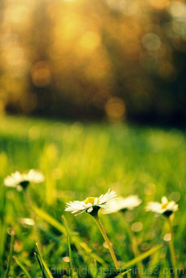 autumn sun daisy flower