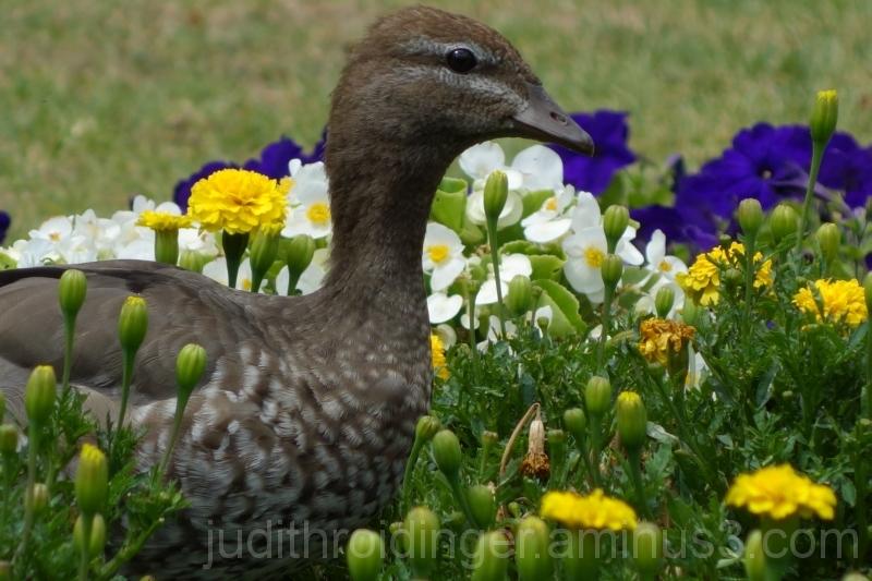 duck flowers