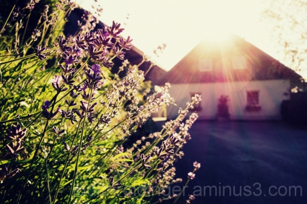 a house and lavender in the sun