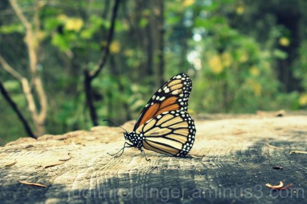mariposa butterfly schmetterling