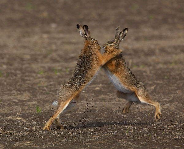 Two male hares fighting for the female