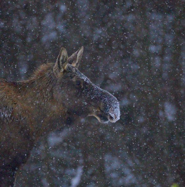Moose cow