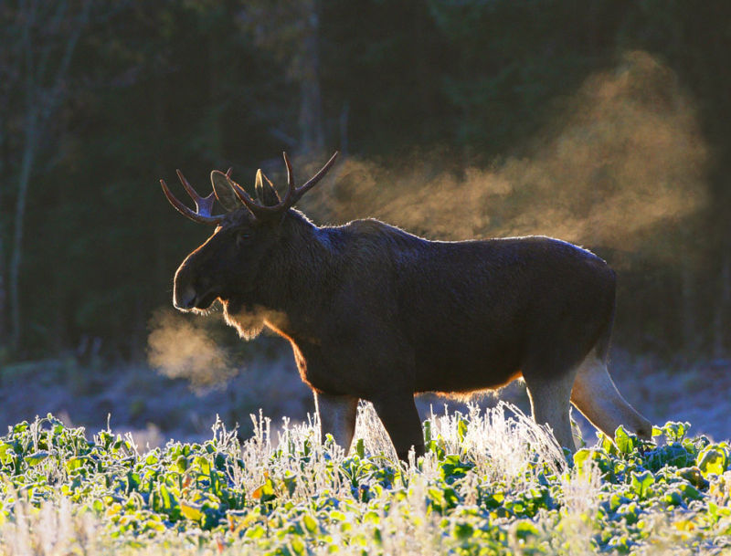 The smokie moose