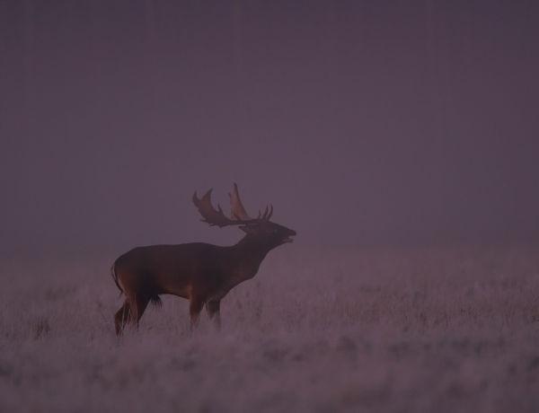 Breeding fallow deer foggy frosty morning