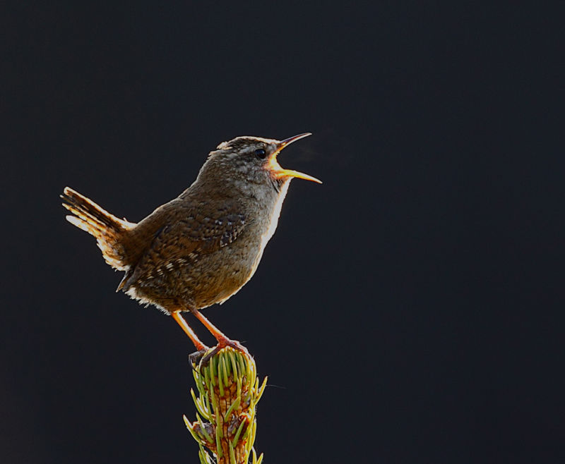 wren is singing