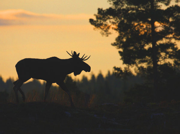Bull moose in the silhouette