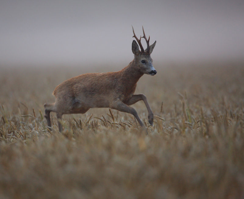 Jumping roebuck in the wheat field