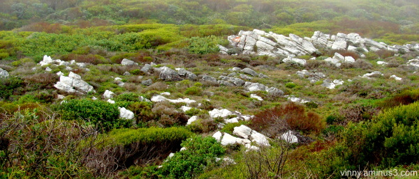 Peninsula Formation quartzite in coastal fynbos