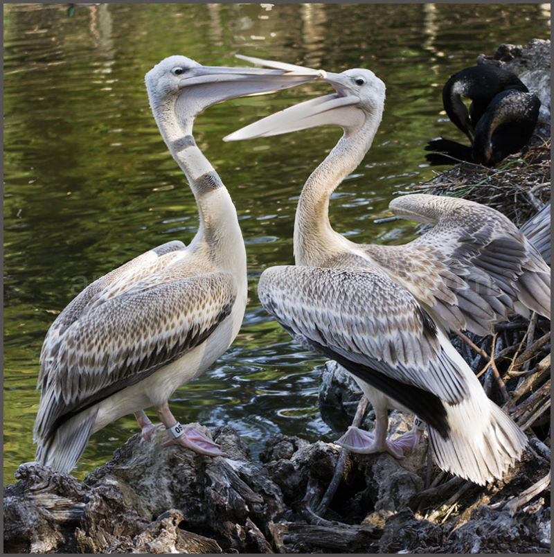 Pink-backed pelicans performing mating ritual