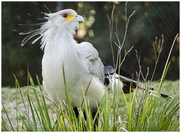 Secretary Bird with raised quills