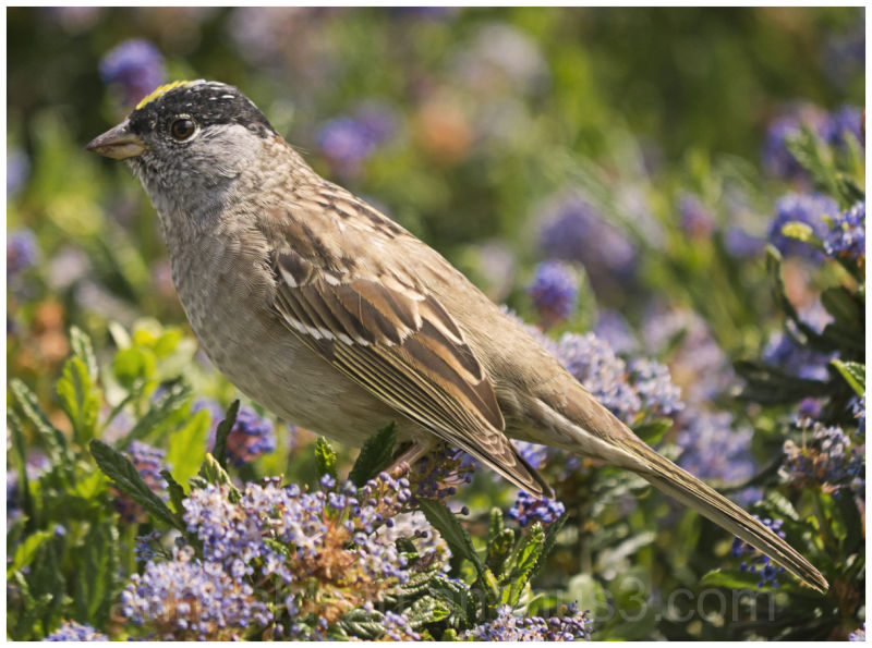 Song sparrow on rosemary bush