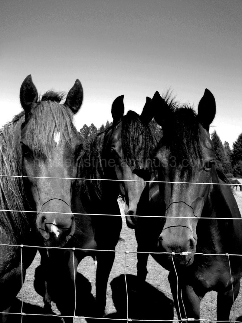 three morgan horses