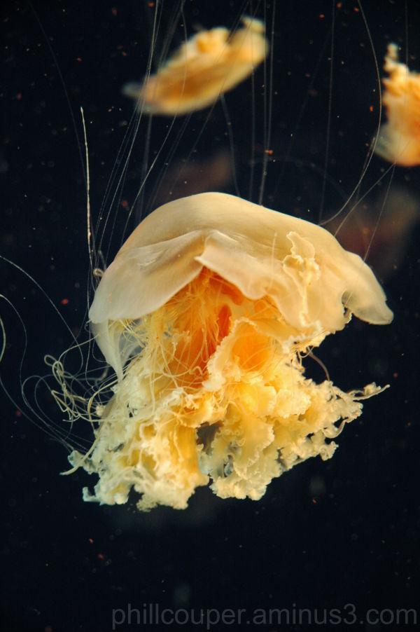 Lions Mane Jellyfish @ Vancouver Aquarium