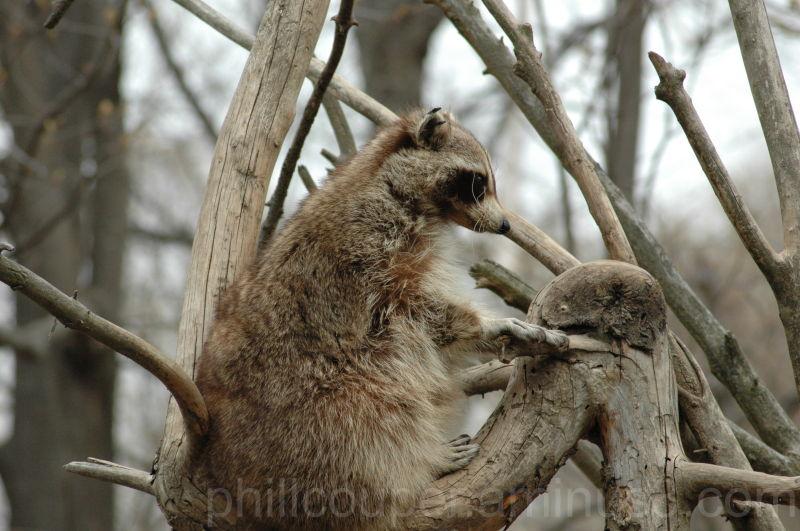 Alert Raccoon