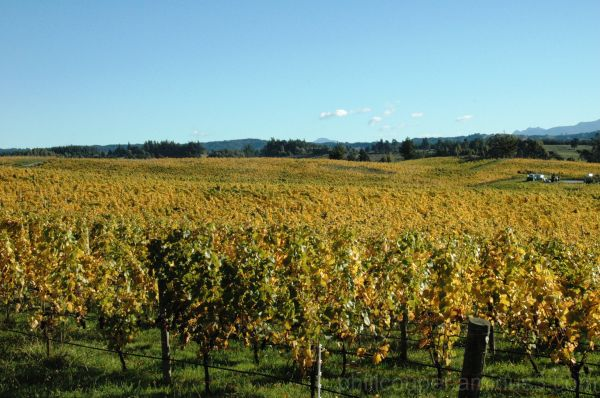 Autumn Colours of the Vines - Nelson