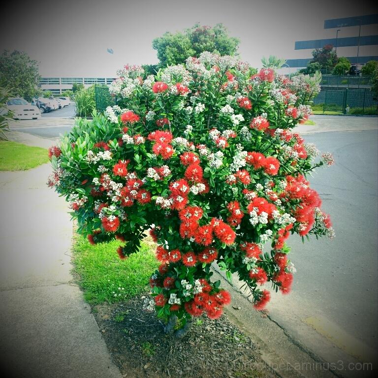 NZ Christmas tree in full bloom