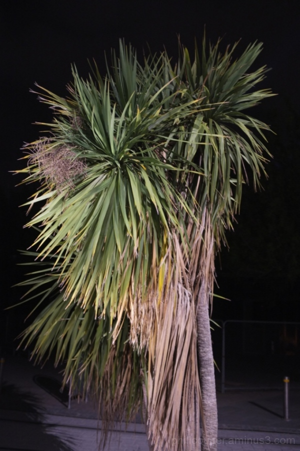 Cabbage Tree @ night
