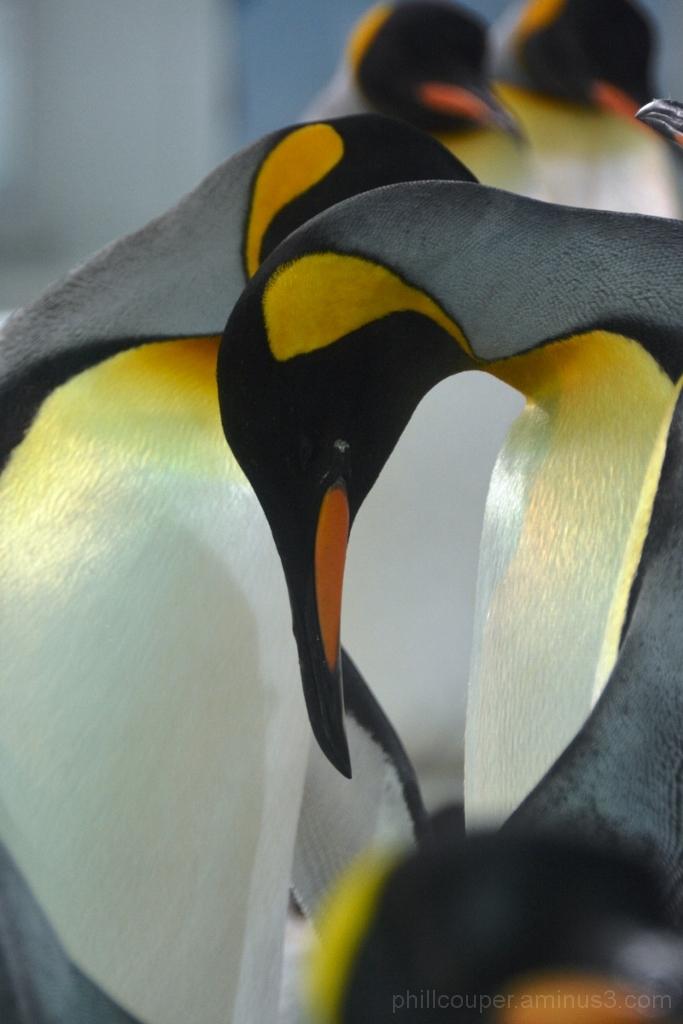 Penguins  @ Kelly Tarltons
