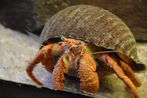 Hermit Crab @ Kelly Tarlton