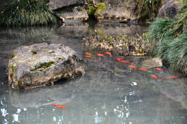 Carp in the Chinese Garden @ Hamilton Botanical