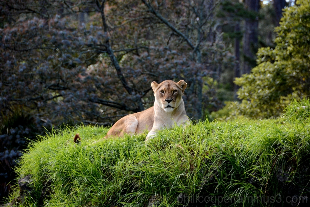 Lioness people watching