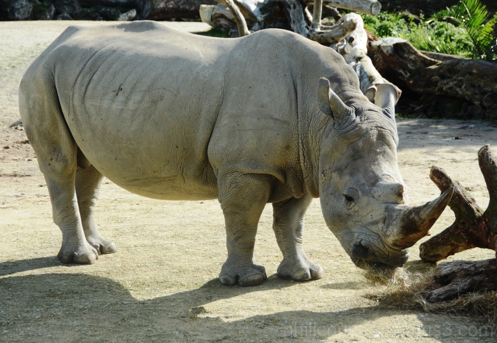Rhino @ Auckland Zoo
