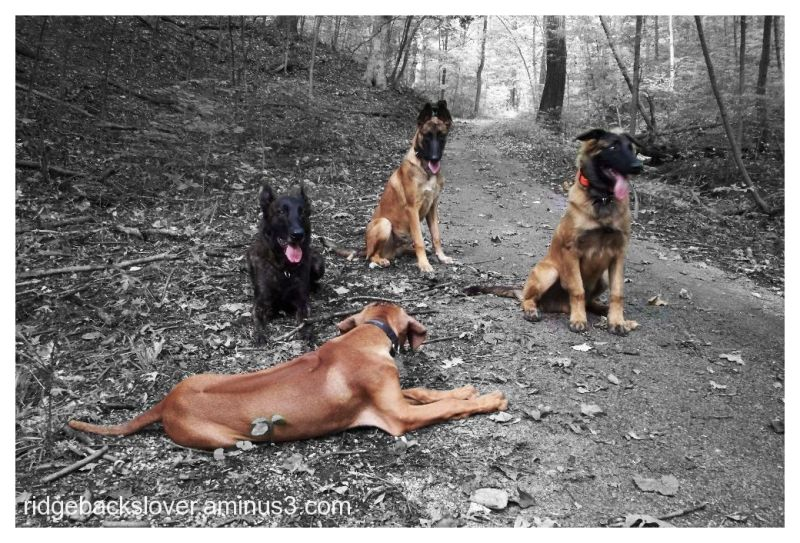 Rhodesian ridgeback and belgian malinois pups