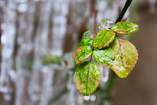 Ice and Plant