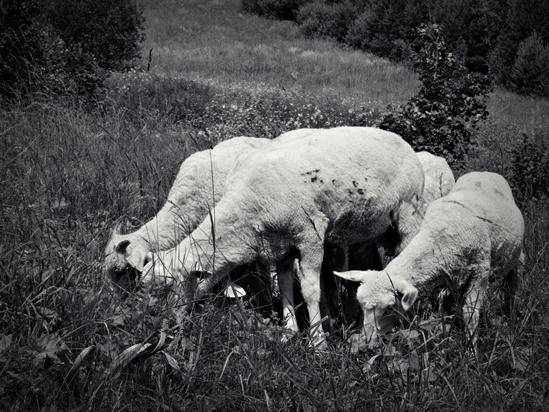 sheep land summer