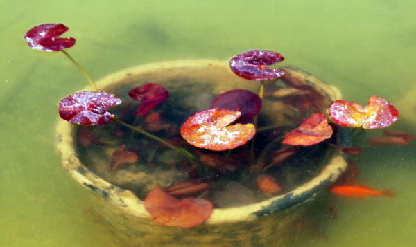 Nenuphar / water lily