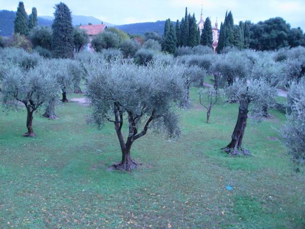 Les oliviers .