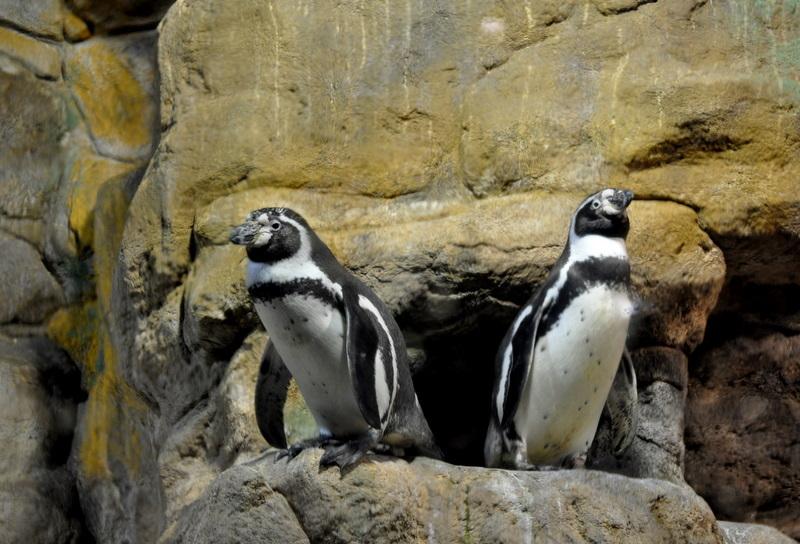 les pingouins .