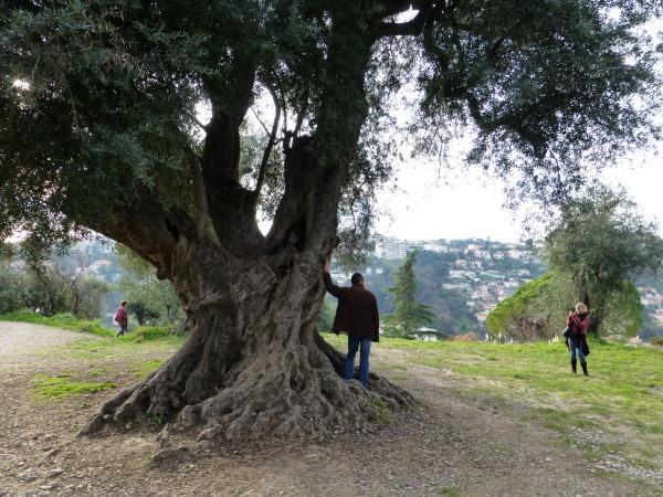 Le vieil olivier .
