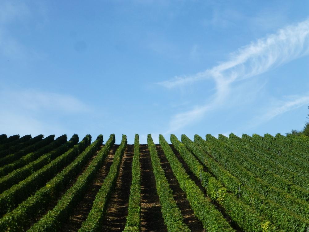 Dans les vignes .
