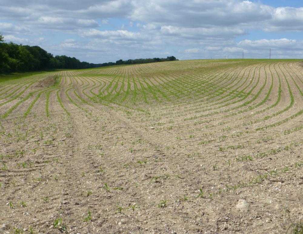 Le blé en herbe .