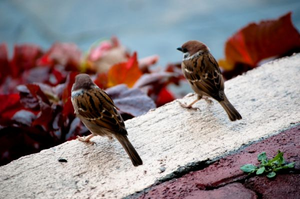 Sparrows in love