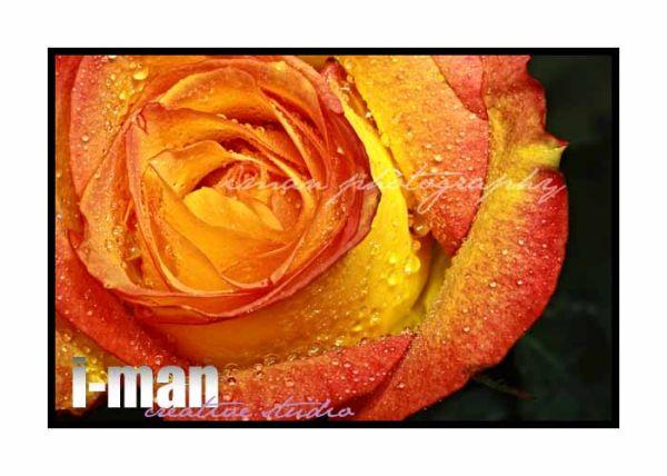 A close up shoot of a rose