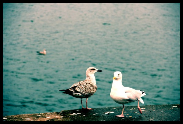 Dirty Old Gulls