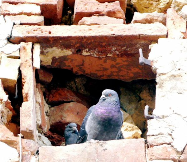 Pigeons in Tuscany