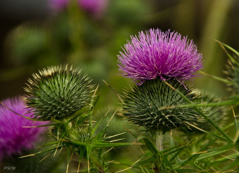 Thistle in Bloom