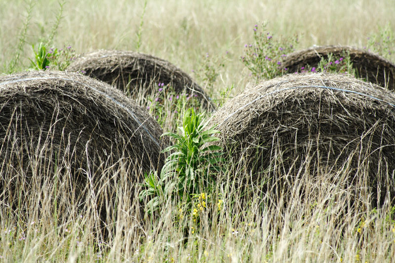 Weeds grow around and through rolls of hay
