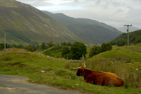 A Highland Cow as we're leaving Ben Lawers range