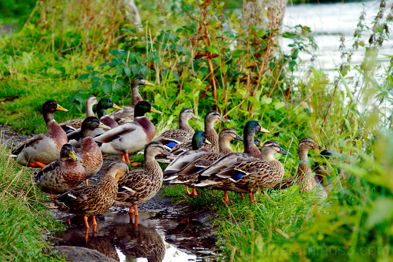 Mallard Ducks avoiding the swollen River Tay