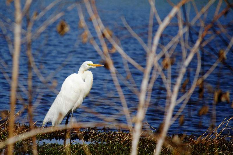 This shy Egret in Lake Conway keeps an eye on me